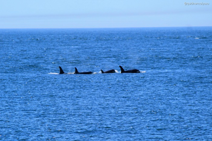 4 resident orcas of deception pass